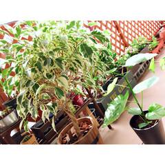 ガーデン雑貨/ドライフラワーのある暮らし/観葉植物のある暮らし/グリーンのある暮らし/ウンベラータ/ベンジャミン/... 昨日から涼しいし天気最高♥︎