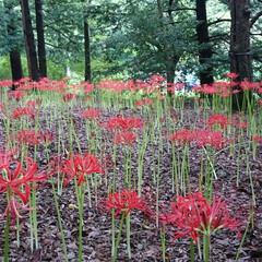 昭和記念公園 公園内の彼岸花を見てきました🎶 密集して…
