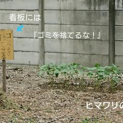 ヒマワリの苗/ヒマワリ/草取り/空き地 近所の空き地に多分、隣人の方が🌻ヒマワリ…