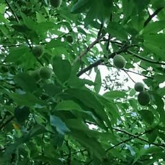 桃の木/公園 公園にある桃の木、実がなりはじめていまし…