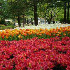 昭和記念公園/チューリップ/おでかけ