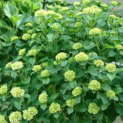 紫陽花/グリーン お向かいのお宅の紫陽花 毎年見事に咲き誇…