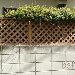 After/Before/DIY/ラティス/メンテナンス/わたしのGW 塀のラティスが崩壊寸前だったんです😱💦一…