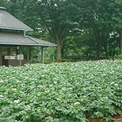 こもれびの里/ジャガイモ/畑/公園 ジャガイモの花がたくさん😊