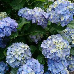 アジサイ/ご近所 ご近所のアジサイ咲きました🎶花が重すぎて…