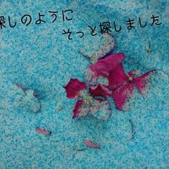ドライフラワー/シリカゲル/ドライ/紫陽花 紫陽花のドライフラワーに失敗したあとにシ…