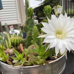 ガーデニング/サボテンの花/サボテン/多肉植物 🌵( '-' 🌵 )サボチャンお花咲き…(6枚目)