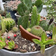 ガーデニング/サボテンの花/サボテン/多肉植物 🌵( '-' 🌵 )サボチャンお花咲き…(2枚目)