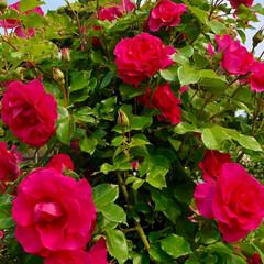 息子家族と一緒にお出かけ/薔薇ソフトクリーム/バラフェア/至福のひととき/LIMIAおでかけ部/おでかけ/... 昨日は息子家族とバラフェアに行って来まし…(7枚目)