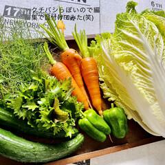 ピーマン/キュウリ/ミニ白菜/イタリアンパセリ/フェンネル/人参/... 今日の採れたて野菜🎶  昨日収穫したサニ…(1枚目)