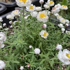 お庭/花かんざし お久しぶりで~す☺️ 久しぶりにお庭に出…