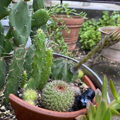 ガーデニング/サボテンの花/サボテン/多肉植物 🌵( '-' 🌵 )サボチャンお花咲き…(4枚目)