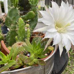 ガーデニング/サボテンの花/サボテン/多肉植物 🌵( '-' 🌵 )サボチャンお花咲き…(1枚目)