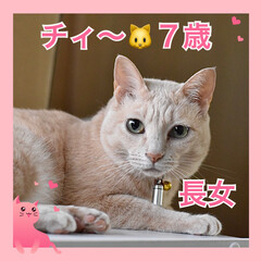 ねこむすめ/うちの子/ネコ/🍘/ねこ/猫 うちの子❤️チィ〜❤️7歳❤️元お外のね…(1枚目)