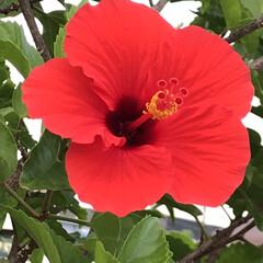 風景/花/夏/ハイビスカス/常に新しい美 いつもの通り道に植わっているハイビスカス…(1枚目)