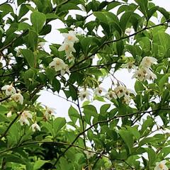 風景/花/エゴノキ/野茉莉/花言葉/壮大 庭のエゴノキが咲いています🙂  花言葉は…(1枚目)