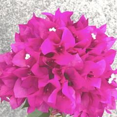 ブーゲンビリア/花/夏/風景 色鮮やかな花… 本格的な夏の訪れを感じま…