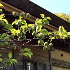 風景/梅の実/日常の出来事 神社の境内になっていた梅の実 ころころと…(1枚目)