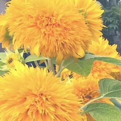 夏/向日葵/風景 向日葵は 夏バテ知らず🌻✨  パワー溢れ…