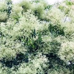 シマトネリコ/偉大/高潔/宇宙樹/魔法使いの箒 ワシャワシャと涼しげなシマトネリコの花 …(1枚目)