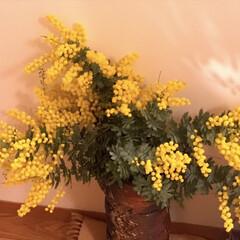 風景/花/ミモザ ひと足早い春の訪れ🌸  いつもの年より早…