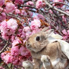 八重桜/ペット/ネザーランドドワーフ/うさぎ/うさんぽ/春のフォト投稿キャンペーン/... 八重桜とうさぎ