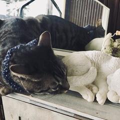 ペット/猫/雑貨/住まい/玄関 下駄箱上の猫オブジェに寄り添うソラ。 ラ…