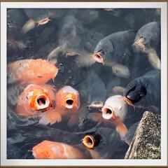 伊佐須美神社/池の鯉/鯉/おでかけ/風景/おでかけワンショット 友達と訪れた伊佐須美神社。 そこにある池…