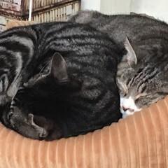 癒し/ペットとの暮らし/LIMIAペット同好会/猫/にゃんこ同好会/うちの子自慢 おはようございます。 スヤスヤと眠る我が…
