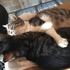 仲良し親子/親子猫/猫/ペット 久しぶりの投稿です。  最近のお昼寝場所…
