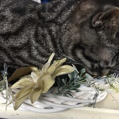 リース作りの途中/邪魔する猫/LIMIAペット同好会/ペット/ハンドメイド/猫/... リース作りの最中に、ためらうことなくリー…