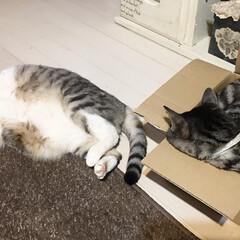 癒し/猫の寝姿/愛猫/ペット/暮らし 愛猫二匹……すやすや(*_ _)zzZ