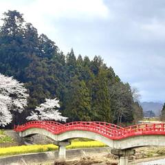 春の景色/癒し/自然のコントラスト/菜の花/桜/朝の散歩