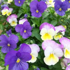 花/ビオラ/ガーデニング/お花/住まい まだまだビオラが綺麗に咲いてくれてる♡ …