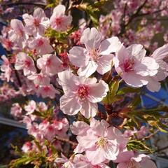 小さい春 今年はじめましての桜🌸