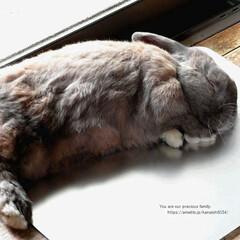 うさぎ/ホーランドロップ/ひんやりシート/アルミシート/ねんね/リラックス 我が家のウサギ(ホーランドロップ)の ム…