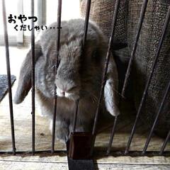 うさぎ/ウサギ/ホーランドロップ/ペット/ご飯/おやつ/... 我が家のムギちゃん うさぎホーランドロッ…