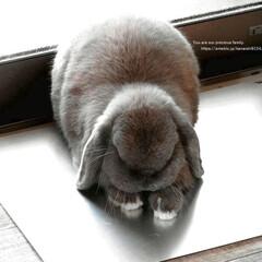 うさぎ/ひんやりシート/アルミシート/ねんね/涼しい/ホーランドロップ 我が家のウサギ(ホーランドロップ)の ム…