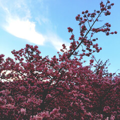 神奈川県/桜/おでかけ/風景
