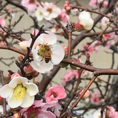 春もすぐそこ/ミツバチ/庭/ボケの花/ペット 庭のボケの花が綺麗に咲きました🌸 ミツバ…