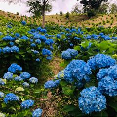 東京ドイツ村/金魚草/薔薇/紫陽花/花/おでかけ/... 東京ドイツ村🇩🇪  お天気は☁️  紫陽…