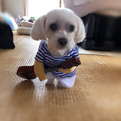ウクレレ弾くよ/マルチーズ/ペット/犬 俺の奏でるメロディーを聴いてくれ〜!