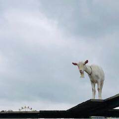 ヤギの空中散歩/子豚のレース/東京ドイツ村/おでかけ/おでかけワンショット 東京ドイツ村🇩🇪  ヤギが頭上をお散歩🐐…