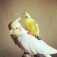 鳥との暮らし/オカメインコ/セキセイインコ/ペット セキセイインコの黄金ちゃんとオカメインコ…