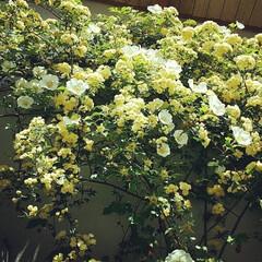 ガーデニング/モッコウバラ/フラワー/花/わたしのおうち自慢/至福のひととき/... 母が育てるお花たち🌸🌹🌺🌻🌼 季節ごとに…