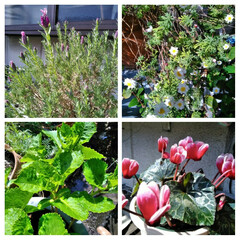 ガーデニング/花のある暮らし/ガーデン雑貨/ガーデニング雑貨/LIMIAガーデニング部/うちのガーデニング/...  おはようございます(*^^*)  暖か…(1枚目)