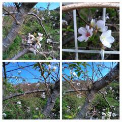 桜 約10年 毎朝通ってる道で 桜🌸!?が咲…