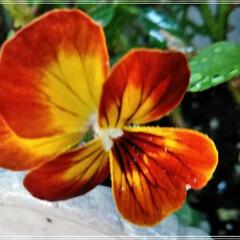 ビオラ/こぼれ種/ガーデニング/花のある暮らし/ガーデン雑貨/ガーデニング雑貨/...  おはようございます(*^^*)  朝の…(1枚目)