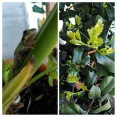 グリーン 柊の新芽が芽吹いてきました😊 新緑の季節…