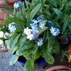 お花のある暮らし/フォロー大歓迎 忘れな草💕  青くて小さなお花が 可愛く…